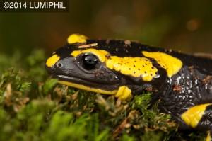 Salamandra salamandra (Linnaeus, 1758)